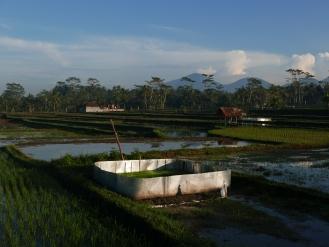 Ubud, Rice Paddy, Bali, Indonesia